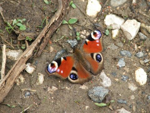 Бабочка в мае