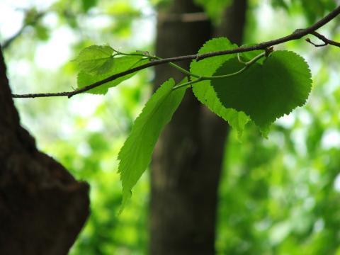 Листья весной
