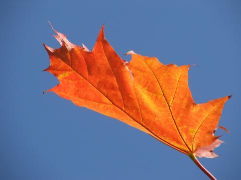 Кленовый лист на свету