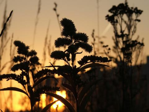 Силуэты трав напротив заходящего Солнца