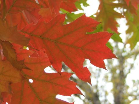 Красный лист на фоне размытых деревьев и зеленых листьев