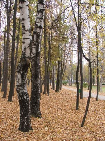 Березы в парке