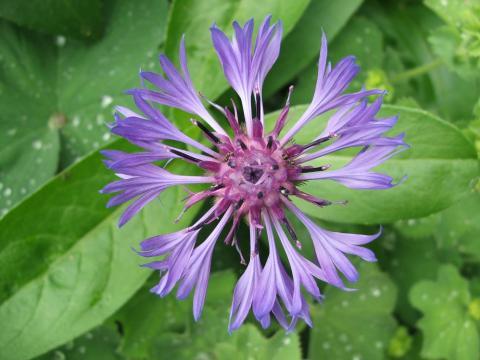 Centaurea L.