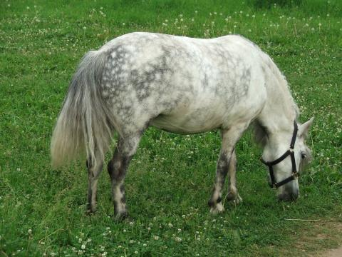Серая в яблоках лошадка