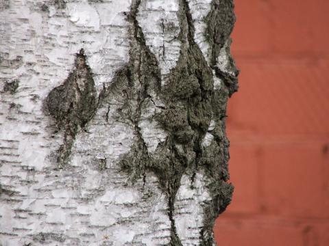 Черно-белое дерево на фоне красной кирпичной стены