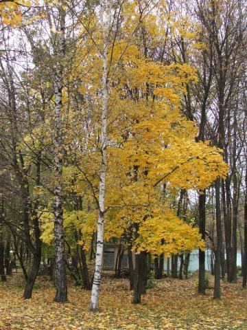 Береза с белым стволом на фоне желтого клена
