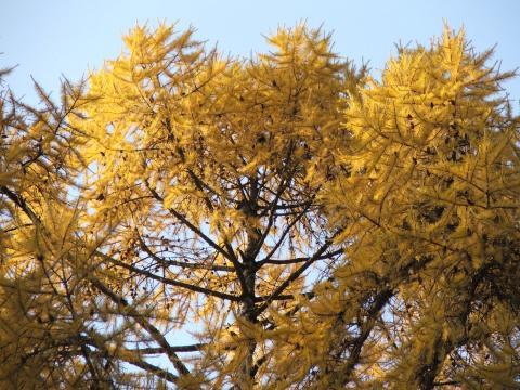 Верхушки лиственницы