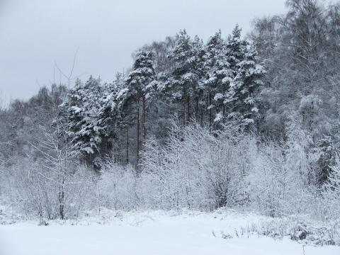 Сосны под ноябрьским снегом на опушке леса