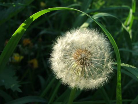 Одуванчик в зеленой траве