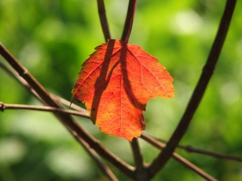 Красный лист на фоне света