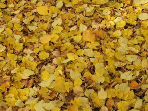 Ковер из желтых листьев