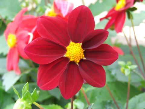 Однолетний георгин рубинового цвета