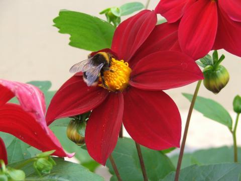 Шмель на красном цветке георгина