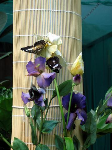 Бабочки на ирисах