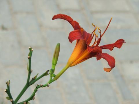 Лилия крупным планом на сером фоне