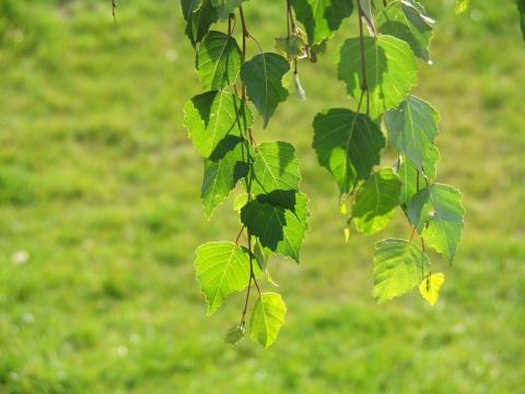 Зеленые листья березы на фоне зеленой травы