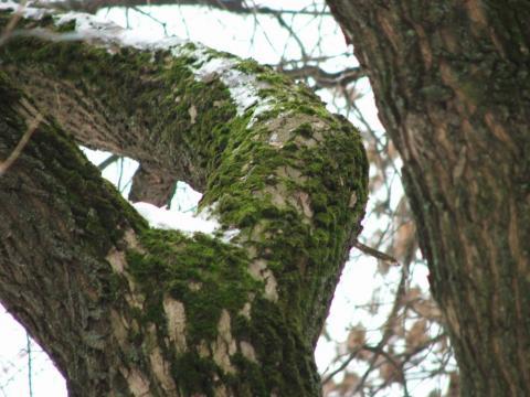 Мох на ветках дерева